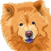 color sketch close-up portrait of a dog chow-chow breed isolated on the white background poster