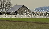 This is a large flock of many snow geese both in flight and sitting on the ground in front of an old barn in a field. poster
