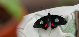 Pink Cattleheart (parides Ipidamas)butterfly With Open Wings In A Fountain Bowl.
