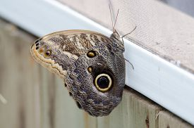 Owl (caligo Memnon) Butterfly With Wings Closed On A Window Frame.