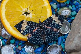 Blue Cracker (hamadryas Arinome) Butterfly On An Orange Slice Surrounded By Blue Pebbles.   Crackers