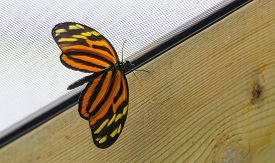 Tiger Longwing (heliconius Ismenius), Or Hecale Longwing, Golden Longwing Or Golden Heliconian.