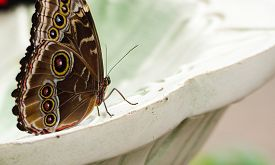 Common Blue Morpho Butterfly (morpho Peleides) On A Fountain, Wings Closed.  Found Across Mexico And