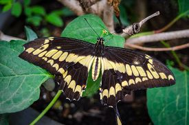 Tiger Longwing (heliconius Ismenius), Or Hecale Longwing, Golden Longwing Or Golden Heliconian.  A H