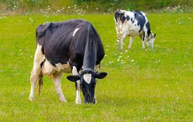 Holstein Friesians Dairy Cow Grazing In A Meadow, These Animals Are Known As The World S Highest Pro