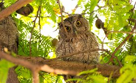 Pacific Screech Owl (megascops Cooperi) Perched, Resting In A Tree During Daytime.  Member Of Strigi