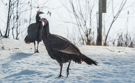 Eastern Wild Turkey (meleagris Gallopavo Silvestris) Hens Gathering To Find Seed In A Wooded Yard.