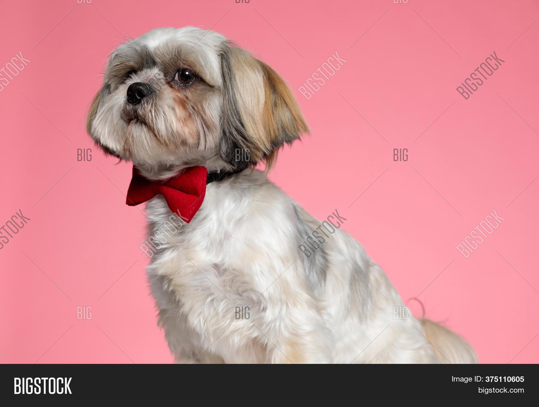 Cute Shih Tzu Puppy Image Photo Free Trial Bigstock