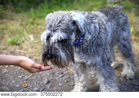 Dog Eating From The Kid Hand On Green Grass Background. Close Up Of Hungry Dog. Puppy Feeding On The