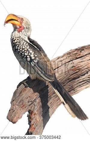 The Southern Yellow-billed Hornbill (tockus Leucomelas) Sitting On The Branch. Yellow-billed Hornbil