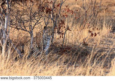The African Leopard (panthera Pardus Pardus) Sitting Hidden In The Dense Bush At Sunrise. A Large Le