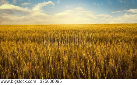 Gold Wheat Field At Sunset Rural Countryside