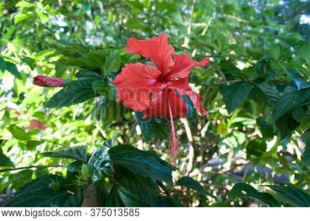 Hibiscus Rosa Sinensis Or Rose Of China In The Garden