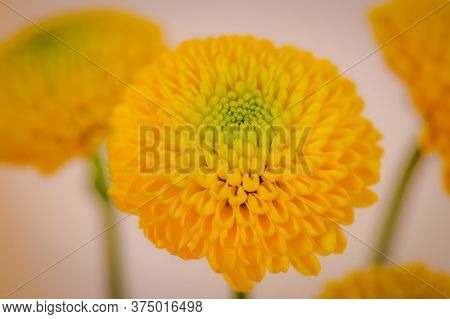 Close Up Of A Bouquet Of Yellow Chrysanthemus Summer Flowers Variety, Studio Shot, Yellow Flowers