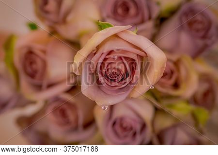 Close Up Of A Bouquet Of Amnesia Roses Variety, Studio Shot, Pink Flowers
