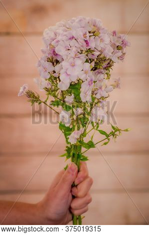 Women Hand Holding A Bouquet Of Phlox Miss Marple Summer Flowers Variety, Studio Shot, White Flowers