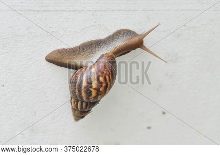 Snail, Gastropod Or Winkle On The Wall