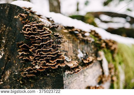 Tinder Fungi Grew On Felled Rotten Trees Lying On The Snow In The Forest.