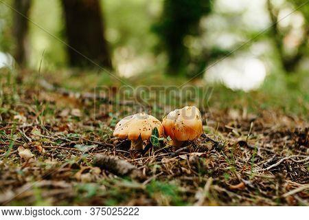 Caesar Mushroom - Amanita Caesarea In The Grass In The Autumn Forest. Edible Fungus Of The Amanitace