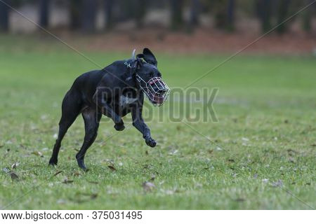 Big Black Dog Running. He Has A Protective Basket On His Nose And An Electric Collar On His Neck. He