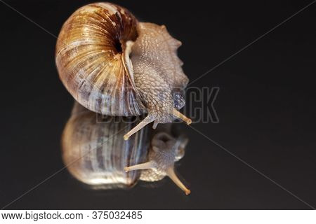 The Conch Snail Has Its Horns Sticking Out And Is On A Reflective Background And A Dark Background