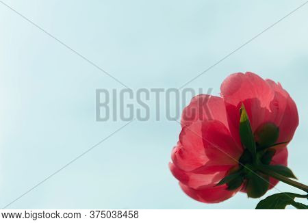 Pink Peony In The Garden. Blooming Pink Peony. Close-up Of A Beautiful Pink Peony Flower. Layout Of