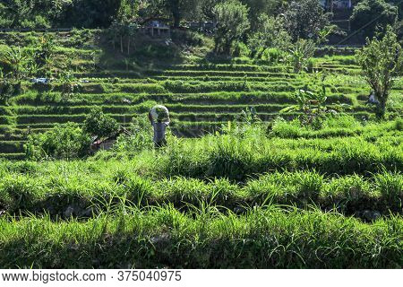 Bali, Indonesia - December 2019: Balinese Man With A Naked Torso Carries A Stack Of Grass On His Hea