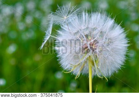 A Large White Dandelion Of A Salsify In Close-up Against The Background Of A Blurred Green Meadow.