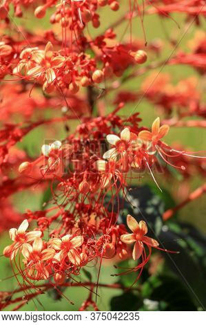 Close Up Red Flowers Of Clerodendrum Paniculatum Or Pagoda Flower Taken In Bali, Indonesia