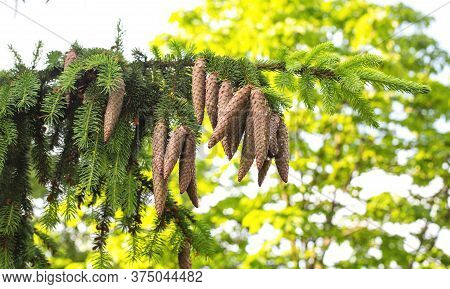 Beautiful Large Oblong Cones On A Coniferous Taiga Tree. Wild Nature, Healing Tree In Alternative Me