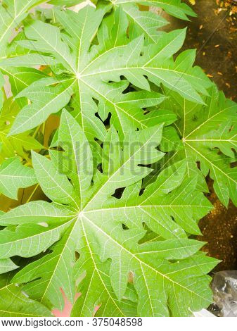 A Group Of Papaya Leaves With Green Color And Have Many Branches In A Single Leaf.the Leaf Have A Ce