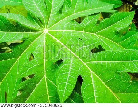 A Sharp And Closeup Image Of A Papaya Leaf With Full Of Veins And Have A Center.the Veins Have A Yel