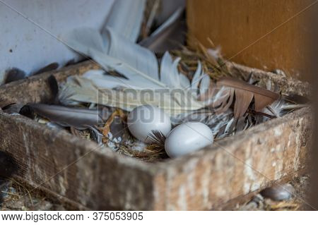 Bird Nest White Pigeon Dove Eggs Lay On The Nest. Home, Life
