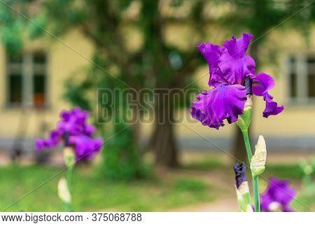 Iris Flower. Blooming Purple Iris, Perennial Plant Of The Iridaceae Family.
