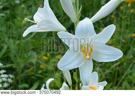 White Lilium Flowers Close Up.macro Of A White Madonna Lily. White Madonna Lily Flower.