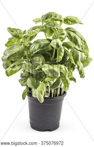 Seedlings Of Fresh Green Basil Herb Leaves In A Pot, Isolated On White Background. Ocimum Basilicum
