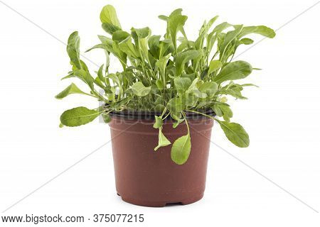 Seedlings Of Fresh Green Arugula (eruca Vesicaria) Leaves In A Pot, Isolated On White Background. Gr