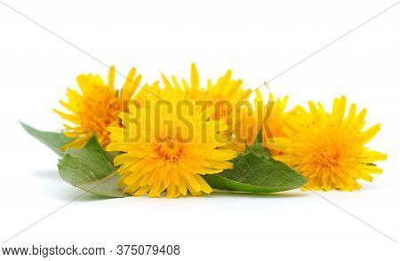Bunch Dandelions With Leaves Isolated On White Background.
