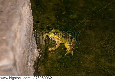 The River Amphibian Frog Sits At Night In Shallow Water In The Golan Heights, In Northern Israel