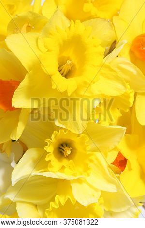 A Close Up Photograph Of A Bunch Of Yellow Daffodils