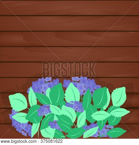 Large Flowering Hydrangea Bush With Green Leaves And Blue Inflorescences On Background Of Wooden Wal