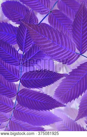 Bright And Catchy Purple Floral Plant Background. Foliage Of Meadowsweet Close-up. Spectacular Viole