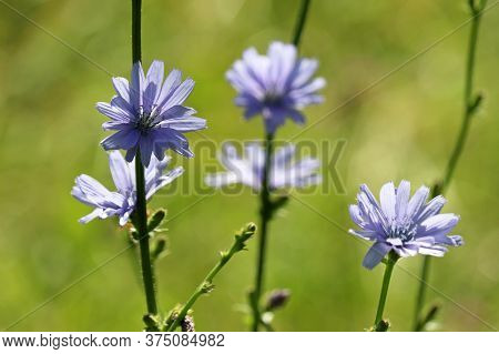 Blue Chicory Flowers In Sunlight On A Meadow, Healing Plant. Blooming Chicory In Summer