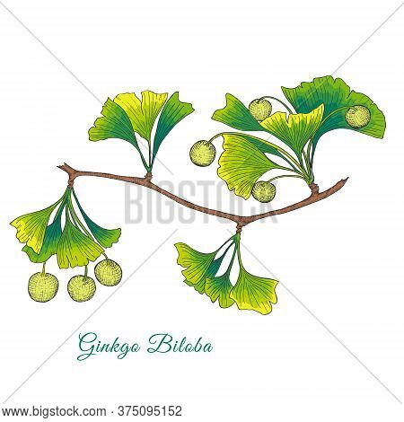 Ginkgo Biloba Tree Branch Isolated On White