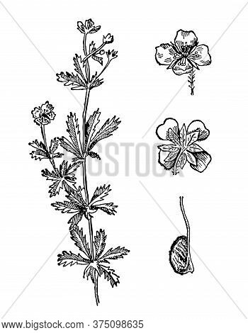 Sanguinaria Canadensis Hand Drawn Flower With Leaves. Bloodroot Drawing Sketch Forest Plant. Reconci