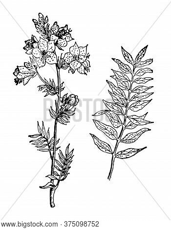 Polemonium Caeruleum Hand Drawn Flower With Leaves. Greek Valerian Drawing Sketch Forest Plant. Reco