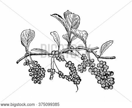 Schisandra Chinensis Hand Drawn Branch With Berries And Leaves. Magnolia Vine Drawing Sketch Forest.