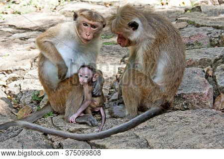 A family of Toque Macaques in Dambulla, Sri Lanka. Often nicknamed 'the Temple Monkey' as they are a very common in Sri Lanka's Culteral Triangle.