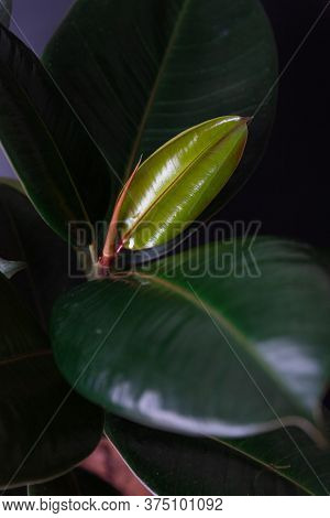 Close Up Of Ficus Elastica ,rubber Fig, Rubber Tree, Rubber Plant, Or Indian Rubber Bush, Indian Rub