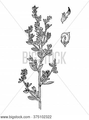 Ononis Spinosa Flowers And Leaves Isolated Background. Plant Herbaceous Or Meadow Herb. Detailed Dra